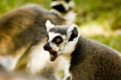 Lemurs of Madagascar Stock Image