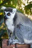 Lemurs of Madagascar 3 Royalty Free Stock Image