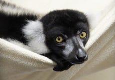 lemurs lizenzfreies stockfoto