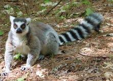 lemurs lizenzfreie stockfotos