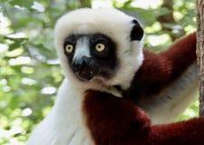 lemurs stockbild