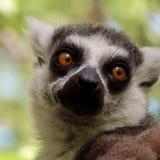 lemurs lizenzfreies stockbild