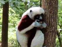 lemurs stockfoto