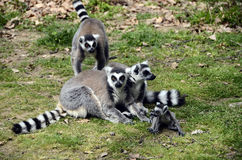 Lemurs, makis family with baby Royalty Free Stock Photography