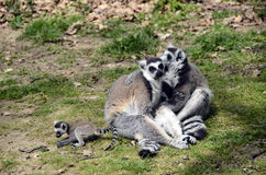 Lemurs, makis family with baby Stock Photos