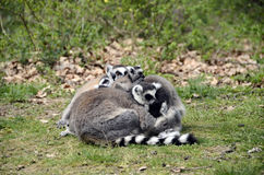 Lemurs, makis family with baby Stock Image