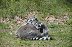 Lemurs, makis family with baby Royalty Free Stock Image