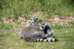 Lemurs, makis family with baby Royalty Free Stock Photo