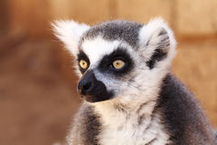 Lemurs monkey (Lemur catta) Stock Images