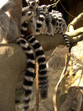 Lemurs na filial Fotografia de Stock