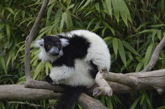 Lemurs Royalty Free Stock Images