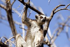 Free Lemurs Of Madagascar Royalty Free Stock Image - 99977816