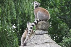 Lemurs in the park. Howling lemurs in a local park Royalty Free Stock Images