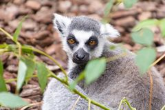Ring-tailed lemur looking in the camera stock photos