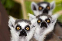 Lemurs Ring-tailed imagens de stock royalty free