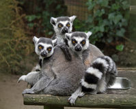 Lemurs Ring-tailed Photo libre de droits