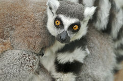 Lemurs Ring-tailed imagem de stock royalty free