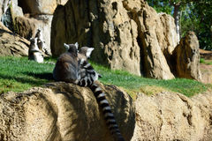 Lemurs Ring-tailed Immagine Stock