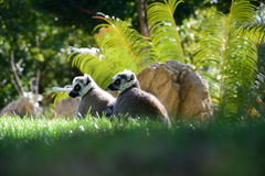 Lemurs Ring-tailed Photographie stock libre de droits