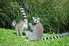 Lemurs Ring-tailed Catta de los lémures Foto de archivo libre de regalías