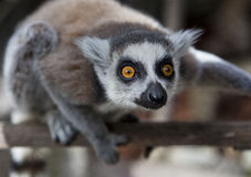 Lemurs Ring-tailed em um parque Zoological Fotos de Stock Royalty Free