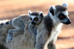 lemurs ringer tailed Arkivbild
