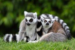 lemurs ringer tailed två Royaltyfria Bilder