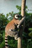 Lemurs Ringtailed Fotografie Stock