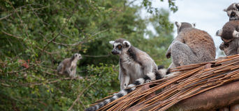 Lemurs on the roof. A group of ring tailed lemurs sat on a roof Royalty Free Stock Images