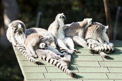 Lemurs. Six happy lemurs chilling in the summer sun on the high roof of their house Stock Photo