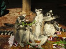 Lemurs on rugs. A conspiracy of lemurs sitting on colorful rugs Stock Photos
