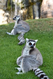 Lemurs. Sitting ring-tailed lemurs on grass Royalty Free Stock Images
