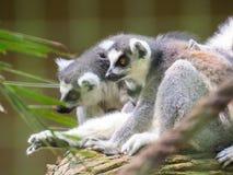 Lemurs sitting on tree in alert position. Exemplary of Madagascar wildlife. Lemurs sitting on tree in alert position Royalty Free Stock Image
