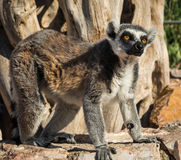 Lemurs with striped tails seating on the stone fence in Athens,Greece Stock Photo