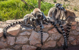 Lemurs with striped tails sitting on the stone fence in Athens, Greece Royalty Free Stock Photo