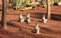 Lemurs suivis par boucle à la réserve de Berenty Image libre de droits