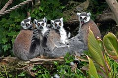 Lemurs suivis par boucle Images libres de droits