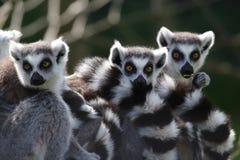 Lemurs suivis par boucle Image libre de droits