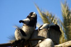 Lemurs sunbath Royalty Free Stock Photos