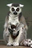 Lemurs svegli Fotografia Stock Libera da Diritti
