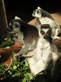 Funny Lemurs. Three adults lemurs mammals animals Royalty Free Stock Images