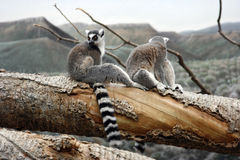 Lemurs on the tree stock photo