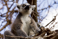 Lemurs on the tree against the blue sky, Ring-tailed Lemur Stock Photography