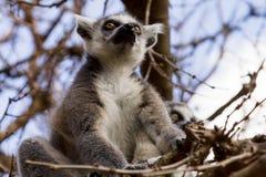 Lemurs on the tree against the blue sky, Ring-tailed Lemur. (Lemur-catt Stock Photography