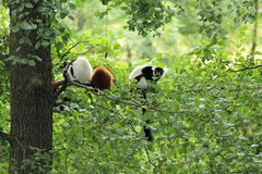 Lemurs on tree Royalty Free Stock Photo