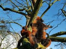 Lemurs on tree trunk. Lemurs on bare trunk of tree against blue skies Stock Photo