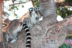 Lemurs in a tree. At the zoo Stock Photography