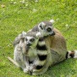 Lemurs. Two lemurs having a hug Stock Photo