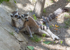 Lemurs. Two lemurs in the shade at zoo Royalty Free Stock Photos