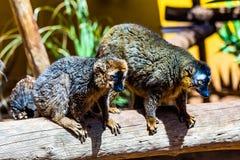 Lemurs on wood Royalty Free Stock Photos